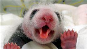 大熊貓捲舌功夫一流,圓仔妹用舌頭當吸管喝水。(圖/臺北市立動物園提供)