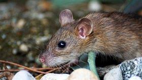 老鼠,鼠疫,示意圖(圖/pixabay)https://pixabay.com/images/id-2814537/