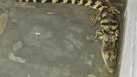 凌晨1點上廁所!驚見「利牙巨鱷」搖尾巴 他嚇壞:有小孩 圖/翻攝自錢江晚報