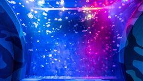 海生館水母牆夢幻吸睛屏東國立海洋生物博物館近年來自行復育多種海洋生物,在水母部分成功復育了海月水母、仙后水母、端鞭水母及最近的荷包蛋水母等。圖為海生館的水母牆。(海生館提供)中央社記者郭芷瑄傳真 109年8月8日