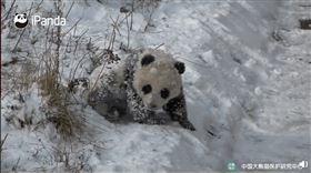 熊貓雪地爬行(圖/翻攝自紅星新聞微博)