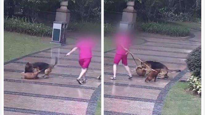 遛狗遇牧羊犬「狩獵式追咬」目睹全程…她淚崩:寶貝被咬死