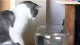 寵物,貓咪,魚,魚缸,打臉(圖/翻攝自微博)