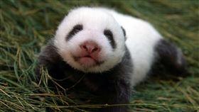 圓圓,圓仔妹45天大,台北市立動物園提供