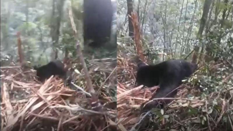 山老鼠槍殺黑熊吃下肚 設陷阱畫面曝