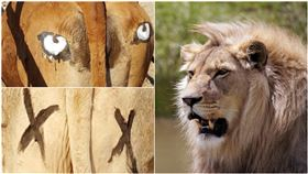 怕牛被偷吃!他實驗「屁股畫眼睛」…獅子嚇到不敢走後門(合成圖/翻攝自nature、Pixabay)
