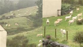 草原上所有的綿羊突然集體靜止。 (圖/翻攝自推特)
