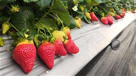 甜度爆表!台灣最夢幻草莓「戀香」來了 果實糖度達16度(圖/行政院農業委員會苗栗區農業改良場提供)