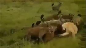 (圖/翻攝自Life of animal YouTube)