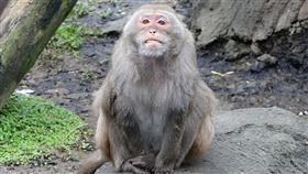 10年猴王「榮哥」帶棒球隊練拋接 為了香蕉身手超敏捷。(圖/臺北市立動物園提供)