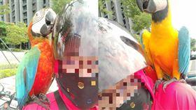 台南東橋,有網友騎車突飛來兩隻鸚鵡護法。(圖/翻攝自爆怨公社)