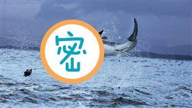 大白鯊,鯊魚 (圖/翻攝自Pixabay)