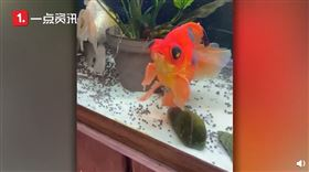 美國,堪薩斯州,金魚,顏色,重生(圖/翻攝自沸點視頻)