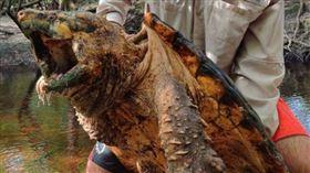 ▲Suwannee鱷魚鱷龜。(圖/翻攝自推特)