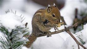 ▲旅鼠(圖/翻攝自pixabay)