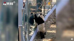 大連熊貓與遊客們擊掌(圖/翻攝自人民視頻)