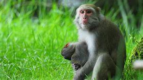 小彌猴遭撞死,媽媽抱著牠不離不棄/玉管處提供