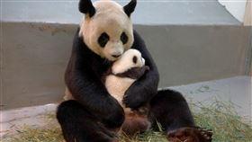 團團圓圓、圓仔妹、大貓熊 圖/台北動物園提供