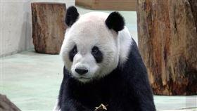 圓寶,動物園,貓熊,(台北市立動物園提供)