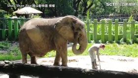 ▲非洲母象「阿里」5歲就飄洋過海來到台灣。(圖/壽山動物園 授權)
