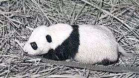 人工繁殖熊貓,元晶(圖/翻攝自搜狐)