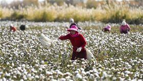 「紐約時報」7日報導,因中國涉及侵害人權,美國總統川普考慮禁止新疆棉花製造的部分或所有產品。圖為新疆棉農在棉田採棉花。(圖/中新社)