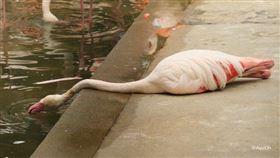 日本網友PO出紅鶴躺在地上的照片。(圖/翻攝自@AquiOh推特)