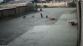 6惡犬猛撲圍攻!男丟石頭反遭「分食咬死」絕望畫面全都錄 圖翻攝自推特