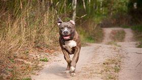 比特犬,大型犬,攻擊,逃跑,狗(圖/翻攝自PIXABAY