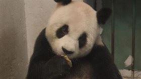 中國官方宣布,貓熊「雷雷」9日因病搶救無效死亡,享年約31歲。「雷雷」是大陸贈送給台灣的貓熊「圓圓」之母;她雖然年幼因傷斷掌,仍克服困難照顧幼熊而有「英雄母親」的稱號。(取自微博網頁weibo.com)