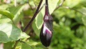 茄子、下體、陰莖、生殖器、勃起(圖/翻攝自Pixabay)