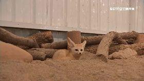 埔心耳廓狐1800