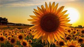 在美國的一間農場,自從疫情爆發後,農場主人決定種植向日葵,用自己的力量和方式,帶給世人溫暖。(圖/Thompson Strawberry Farm授權提供)