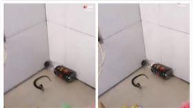中國,湖南,廁所,工作,蛇(圖/翻攝自株州晚報視頻)