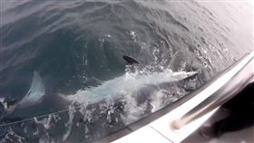 ▲雷尼船長釣的544公斤鯊魚。(圖/翻攝自推特)