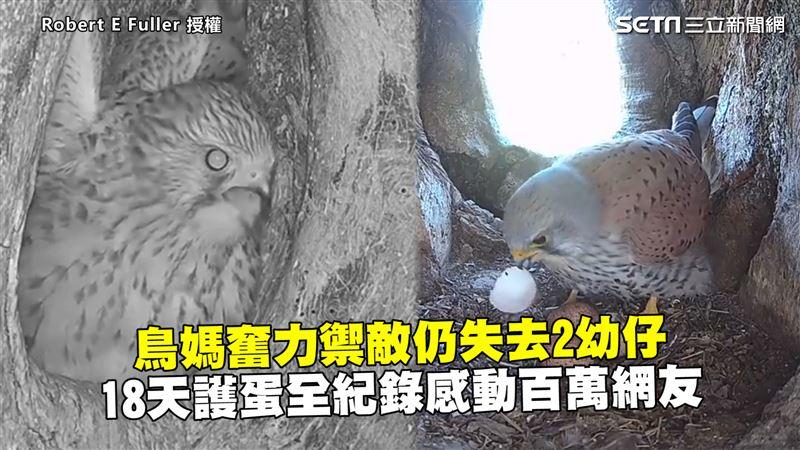 鳥媽奮力禦敵仍失去2幼仔 18天護蛋全紀錄感動百萬網友