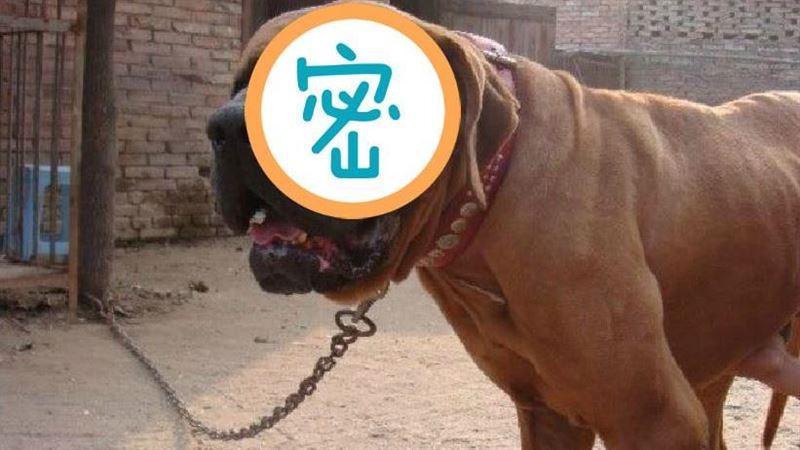 6類危險犬將禁養!牠兇猛不輸比特犬 是日本黑社會的最愛
