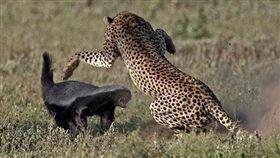蜜獾為了與花豹搶食,不惜一戰。(圖/翻攝自百度百科)