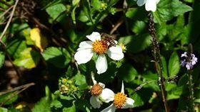 蜜蜂。(圖/特生中心提供)