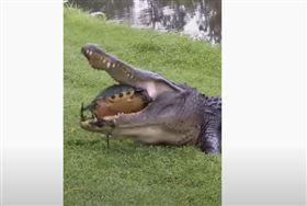 烏龜大戰鱷魚。(圖/翻攝自HomeShark YouTube頻道)