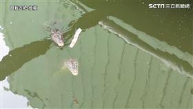 ▲YouTube頻道「跟我走吧」造訪美濃一處神秘鱷魚池。(圖/跟我走吧 授權)