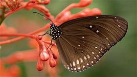蝴蝶。(圖/翻攝自pixabay)