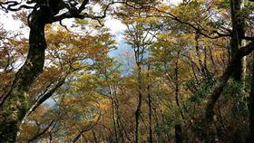 台灣山毛櫸黃金林(羅東林管處提供)
