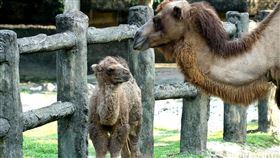 雙峰駱駝生第三胎,名叫煙子,(圖/台北市立動物園提供)