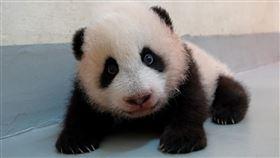圓寶,貓熊,(圖/台北市立動物園提供)