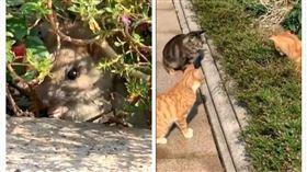 小老鼠被三隻貓咪圍捕(圖/翻攝自微博)