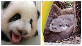 教師節快樂~哺乳動物寶寶感謝媽媽當啟蒙導師 水獺莎夏 圓寶(圖/台北市立動物園提供)