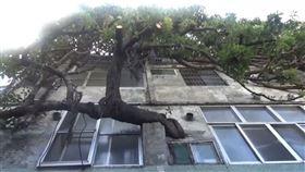 彰化奇景!百年老榕樹貫穿屋 是人瑞嬤的愛情故事(圖/翻攝畫面)