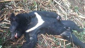山老鼠盜伐高價千年樹瘤 還涉槍殺台灣黑熊吃下肚(圖/翻攝畫面)