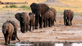 ▲非洲辛巴威發現大量大象暴斃。(圖/翻攝自推特)